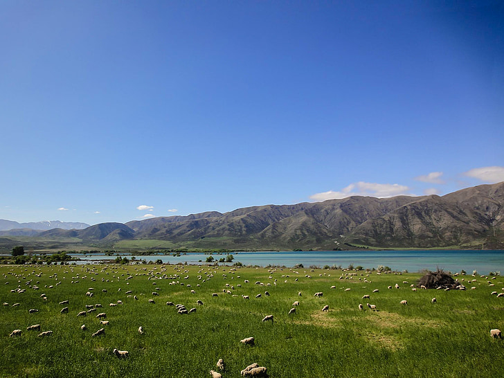 new zealand, pasture, cattle, mountains, landscape, wool, meadow