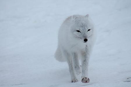 polar fox, fox, arctic, white, wild, animal, snow