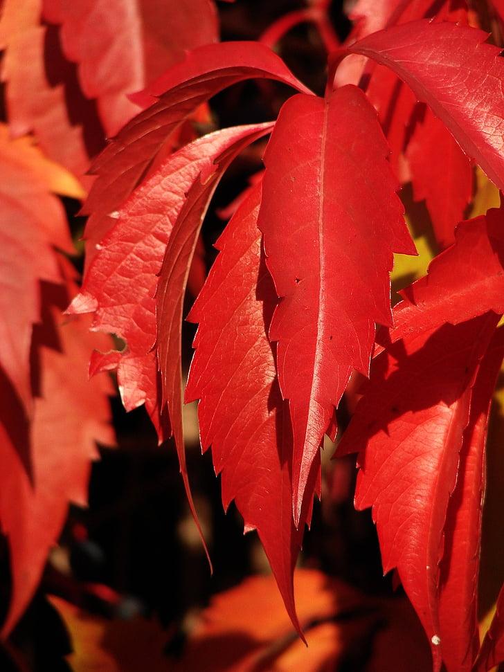 raudoni lapai, lapai, gebenė, raudona gebenė, raudona, rudenį, Gamta