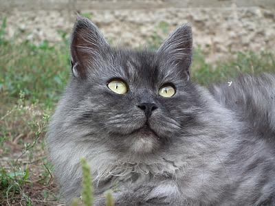 Katze, Sibirische, Porträt, Katzenauge, niedlich, Kätzchen, Tiere