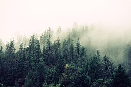 соснові, дерева, Оточений, тумани, день, час, ліс