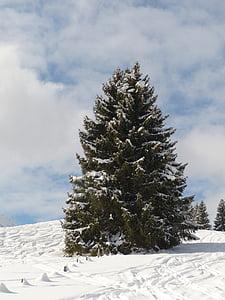 fir, firs, trees, snowy, winter, snow, sky