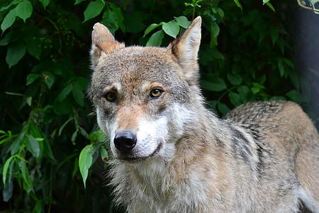 wolf, pack animal, animal, forest, close, scheu, nature