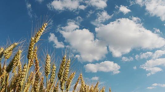 kukuričnom poli, pšeničné polia, pole, pšenica, poľnohospodárstvo, obilniny, Cloud