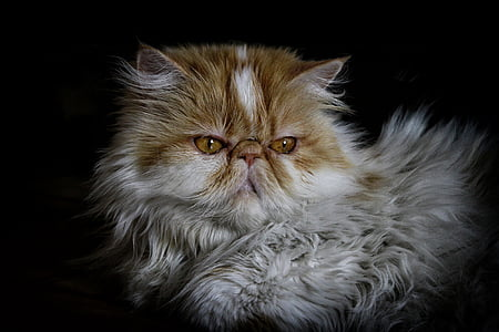 cat, persian, persian cat, pet, animal, domestic cat, pets