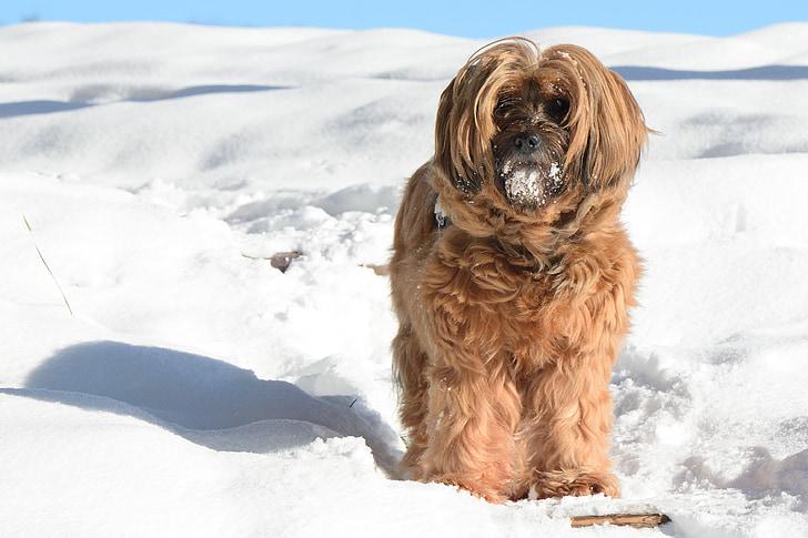 dog, tibetan terrier, animal, winter, snow, race, portrait