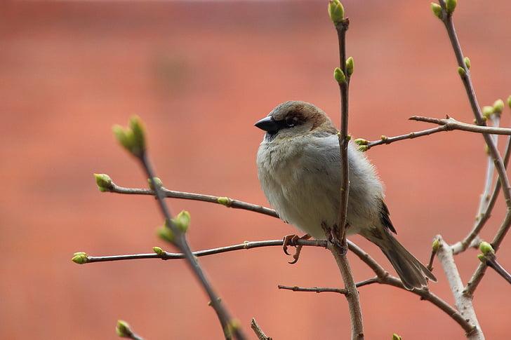 Sperling, врабче, птица, Songbird, природата, клон, седи
