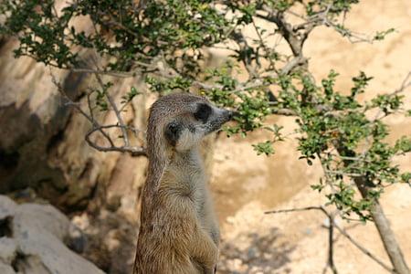 Meerkat, looma, Zoo, imetaja, Wildlife, loodus, Aafrika