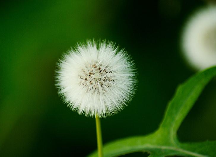 Samen, Löwenzahn, Blume, weiß