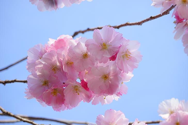 Jaapani Kirsipuud, lilled, Jaapani õitsemise kirss, Dekoratiivne kirss, Jaapani kirss, kirsi õis, õis