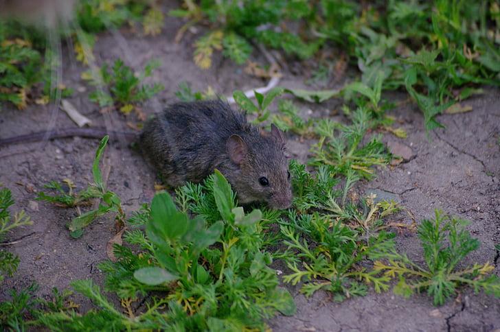miš, štakor, siva, glodavaca, štetočina