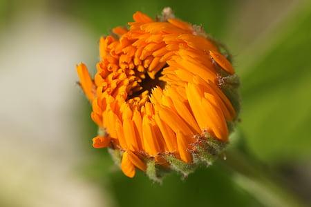 Medetkų, oranžinė, žiedų, žydėti, Sodininkystė, Vaistinė medetka, Medetkų