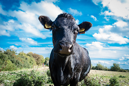 cow, animal, nature, mammal, cattle, beef, black