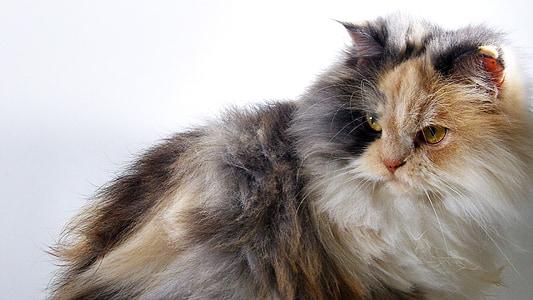 cat, angora, animals, pets, domestic Cat, cute, animal