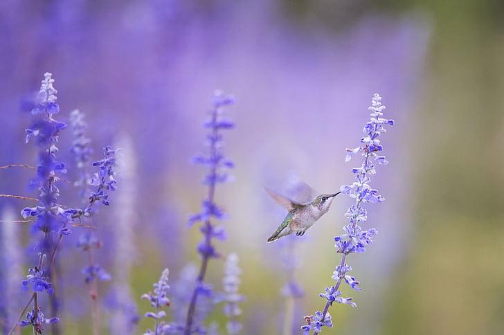 животните, птица, Блум, Блосъм, флора, цветя, колибри