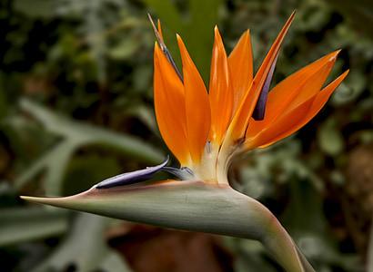 bird of paradise flower, strelitzia, bird of paradise, exotic, botanical garden