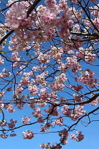 cherry flowers, cherry, spring, springfeelings, spring flower, spring flowers, tree