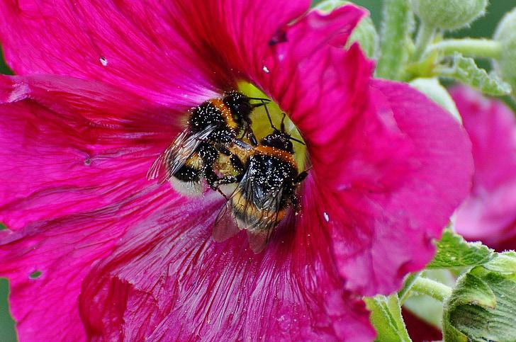 Хумел, насекоми, цветен прашец, Блосъм, Блум, природата, затвори
