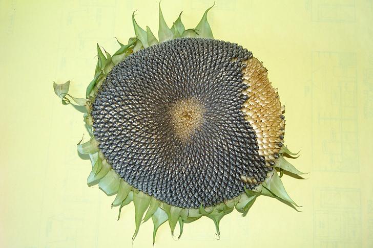 подсолнечник, Семена подсолнечника, подсолнечника голова, завод, цветок, сухой, Увядшие