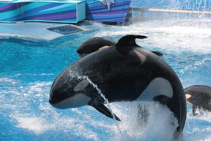 SeaWorld, Florida, Orca, Willi, Shamu, ubojica izbor, zabavni park