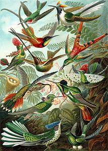 hummingbirds, birds, trochilidae, haeckel, swifts, apodiformes, nature