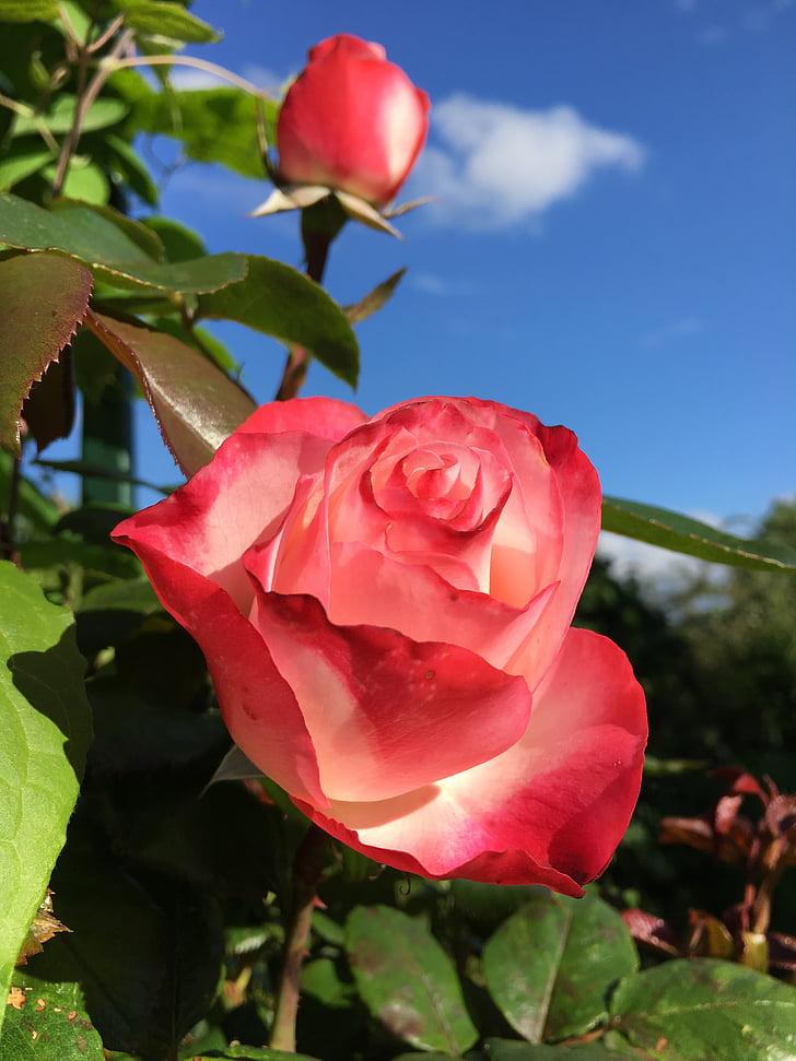 jardí, Roses, fragància, flor, flor rosa, natura