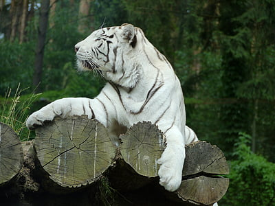 tiger, cat, big cat, wildcat, white tiger, white, majestic