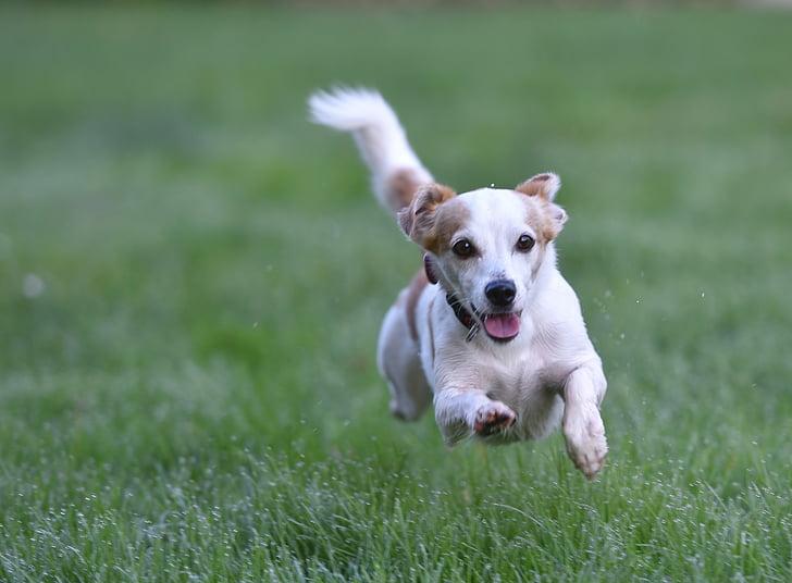gos, Prat, gos el Prat, animal, hundeportrait, Terrier de, gos de raça mixta