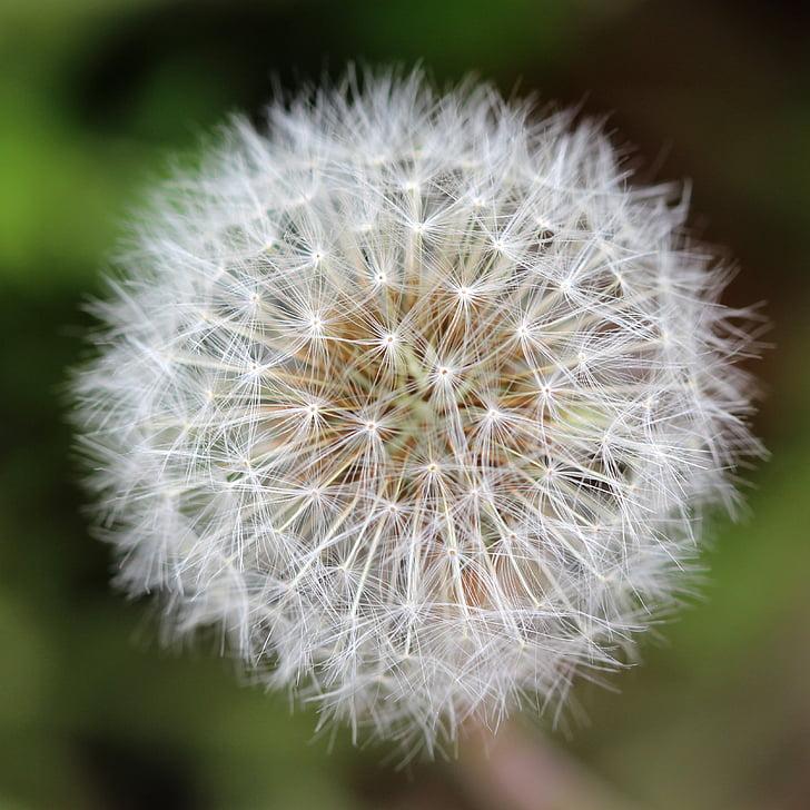 võilill, seemned, seemne juht, Weed, taim, heinamaa, Õues