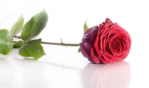 Rosa, flor, vermell, fons blanc, reflexió, Rosa - flor, pètal