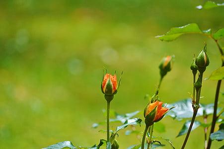 τριαντάφυλλα, λουλούδια, ο οφθαλμός, πορτοκαλί, αυξήθηκε ανθίζουν, λουλούδι, Κήπος