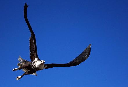 Адлер, плешив орел, vodel, животните, граблива птица, раптор, фигура