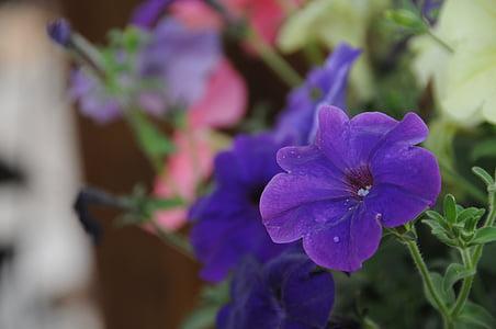 anthurium, flower, nature, flowers, plants, purple, garden
