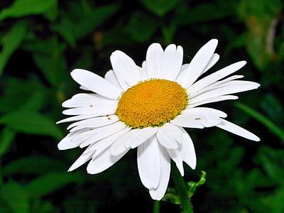 flor, flor, flor, Margarida, natura, planta, flor blanca
