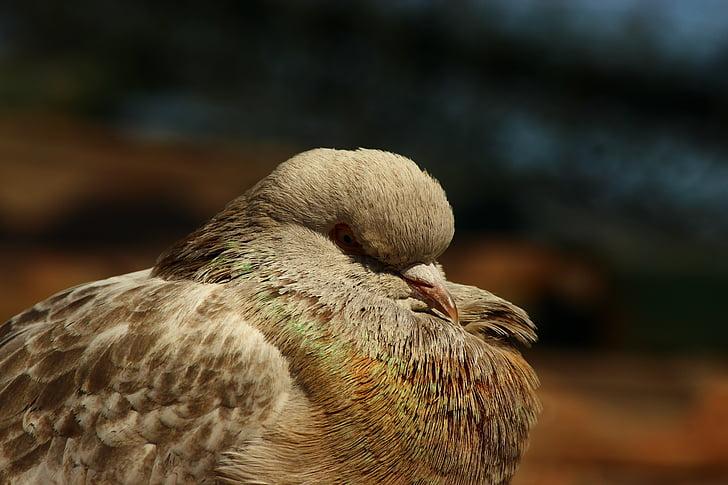 duva, oskyldiga fåglar, Sleep-tid, ett djur, fågel, djur i vilt, djur wildlife
