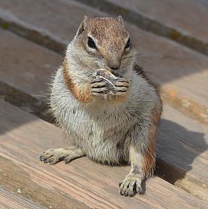esquirol, esquirol, esquirol llistat, aliments, animal, rosegador, valent