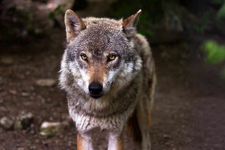 animal, forest, predator, wilderness, wolf