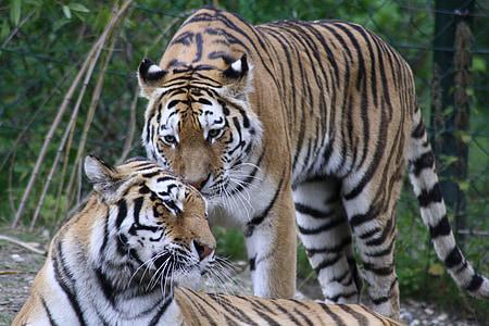tiger, animals, predator, cat, zoo