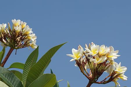 프 르 메리 아, 참파 라오스, 흰색 꽃, 아로마, 스카이, 오픈, frangipani 꽃