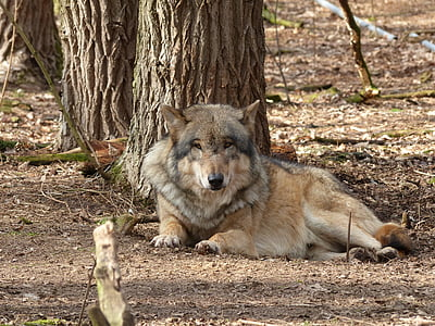 wolf, animal, nature, predator, wildlife park, wild animal, pack animal