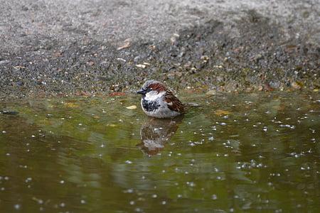 sparrow, little bird, birds, colorful, small, swim, water