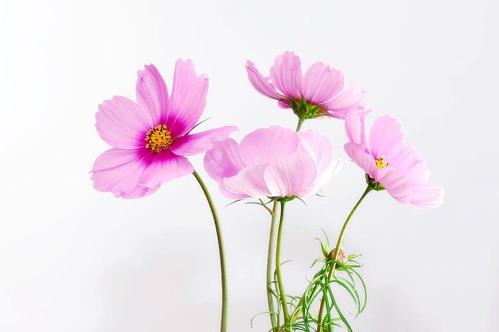 cosmea, цвете, Блосъм, Блум, растителна, затвори, природата