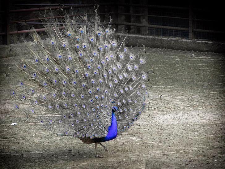 птица, паун, синьо, BW, перо, животните, природата