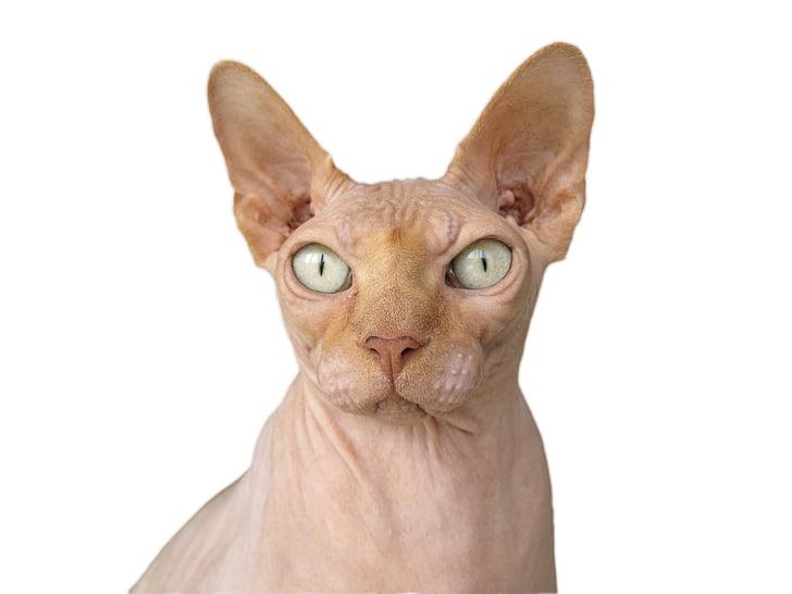 Sphynx, γάτα, φυλή γατών, φαλακρός, άτριχος, πονοκέφαλο, γάτες