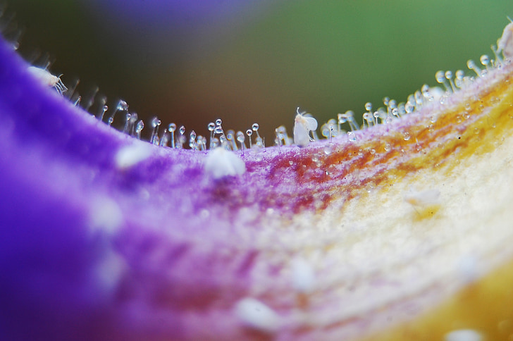macro, macro photo, macro photography, close, tropical africa, thunbergia battiscombei