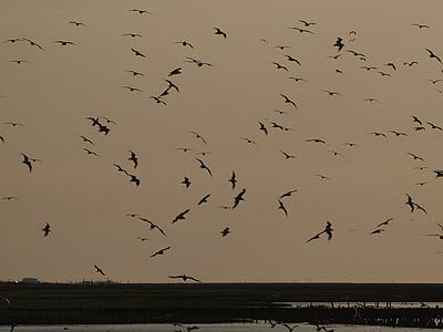 kvällshimmel, atmosfäriska, Sky, svärm, fluga, fåglar, kvällen
