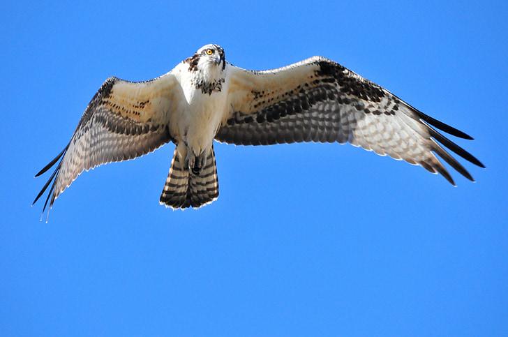 paukštis, Erelis žuvininkas, plaukioja, Laukiniai gyvūnai, Gamta, Raptor, dangus