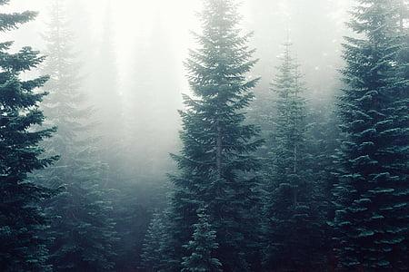 ялин, туман, Туманний, ліс, Мряка, туманні, таємничий
