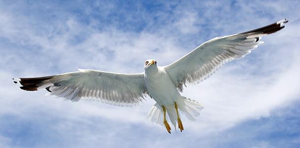 Gabbiano, uccelli marini, uccelli, ali spiegate, uccello, di volo, animali-i temi