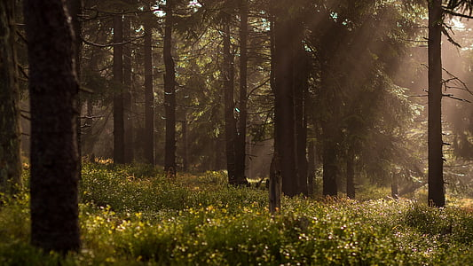 bosc, raigs, sol, llum, brillant, a través de, fullatge
